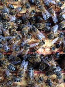 bees (1).JPG