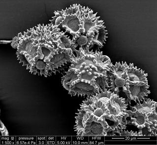 Identification des pollens portés par les abeilles sauvages pour déterminer leur régime alimentaire?