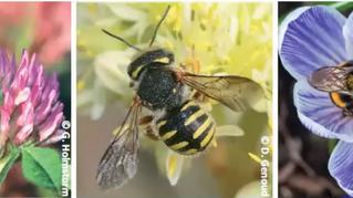 Contribution des habitats aux ressources pour les abeilles