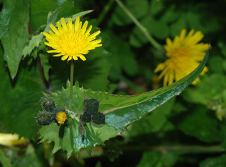 Molecular analysis of ecological interactions for optimizing biocontrol of the invasive weed Sonchus