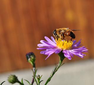 SEBIOREF : Apport de la télédétection pour la cartographie du potentiel d'accueil des abeilles sauva
