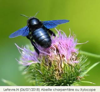 La création d'une base nationale de barcodes des abeilles sauvages de France