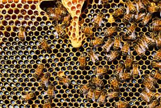 Influences du paysage sur l'abondance des abeilles sauvages, leur diversité et le service de pollini