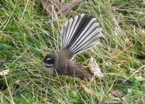 Biogéographie fonctionnelle des communautés mixtes d'oiseaux natifs et introduits en Nouvelle-Zéland