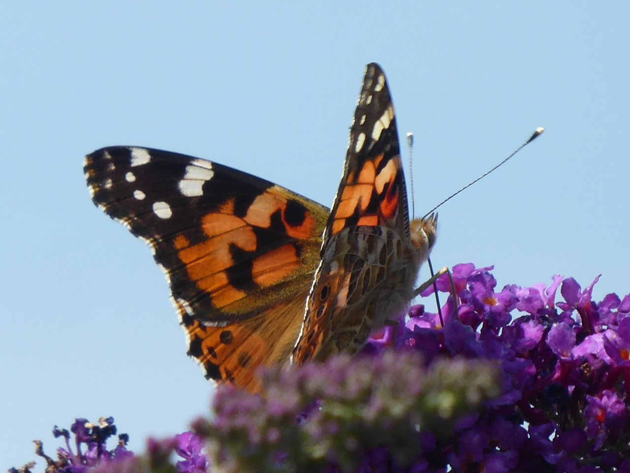 Painted Lady 26 July Uppermill.jpg