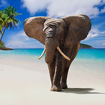 Beach-walking-elephant-Stock-Photo - Edi