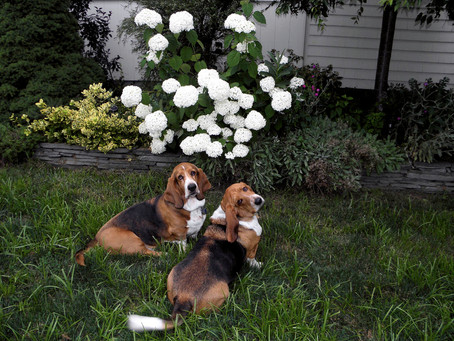 Cletus and Homer - Best Loved Bassets