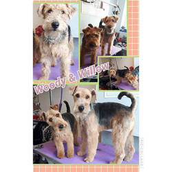 Welsh terrier pups. So adorable
