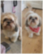before and after shihtzu