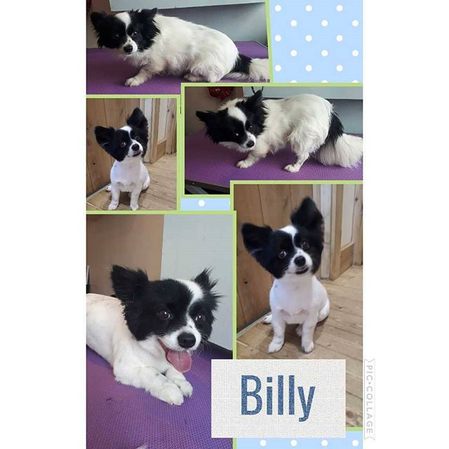 Gorgeous billy. Chihuhua x