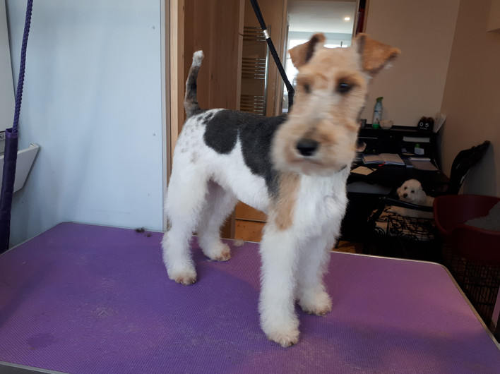 rescue fox terrier before and after