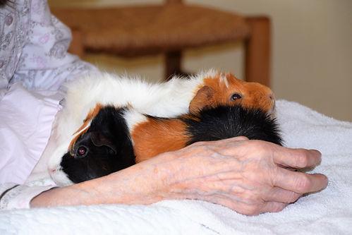 cochon d'inde en médiation animale zoothérapie