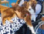 berger australien, berger américain en médiation animale, zoothérapie