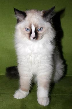 kitten-g1