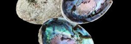 Abalone Shell 鲍鱼壳
