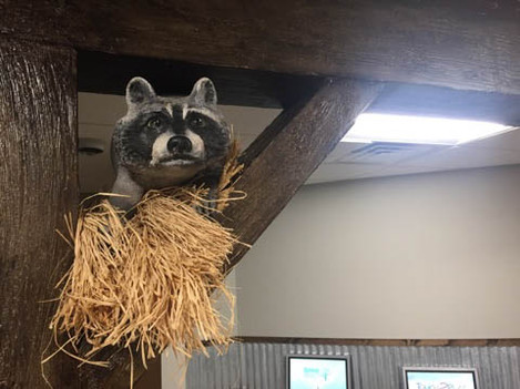 Racoon in the barn rafters