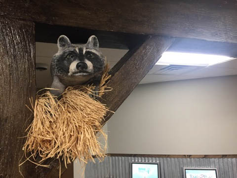 Racoon in the Rafters