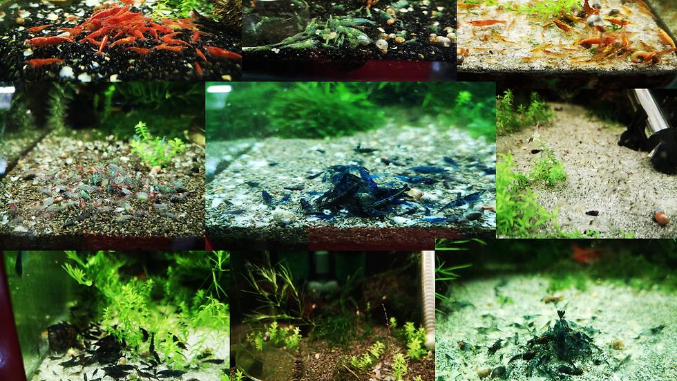 x10 Neocaridina Shrimp mix