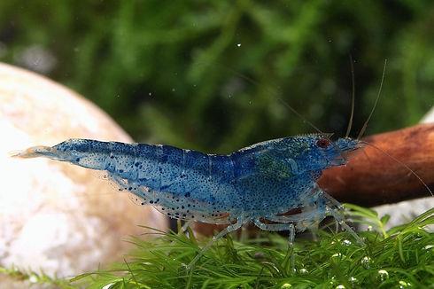 Aura-Blue-Raritaet.jpg