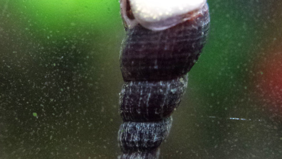Black Malaysian Trumpet Snails
