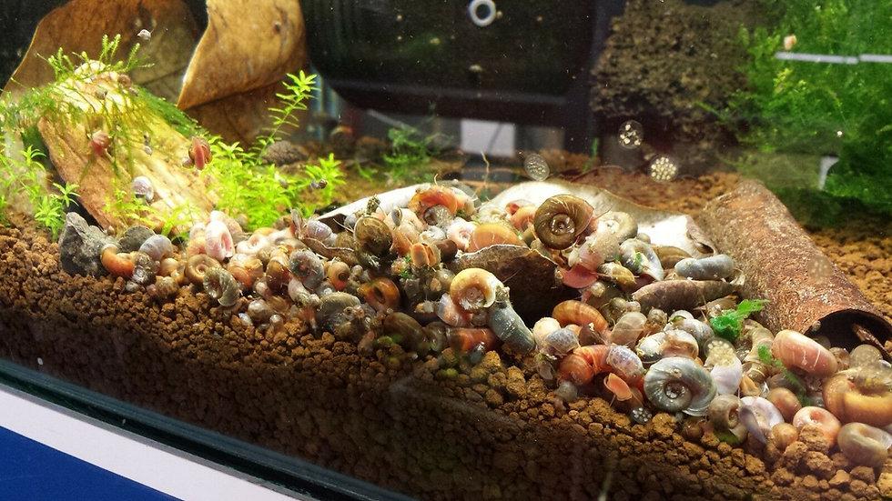 Ramshorn snails, Puffer food, turtle food, Aquarium snails