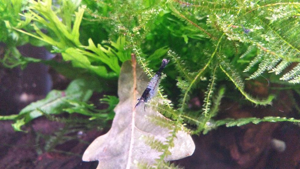 x10 Carbon Rili Shrimp