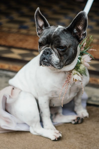 Hampton Manor Wedding photography Solihull, A french bull dog dressed as a bridesmaid at a wedding
