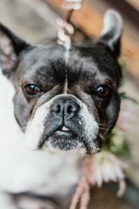 Hampton manor wedding photography Solihull, close up image of a french bull dog at a wedding