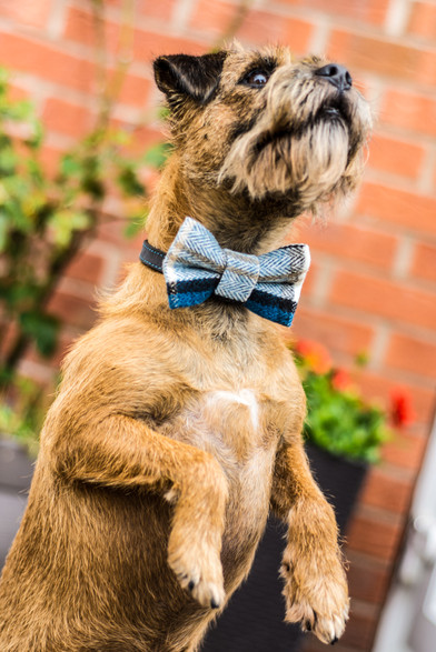 Wedding Photographer Birmingham, close up image of a border terrier with a bow tie on ready for a wedding, fun image