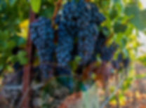 grape_vineyard_image_edited.jpg