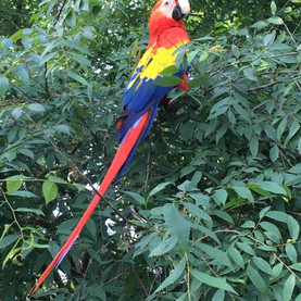 Macaw in tree.jpeg