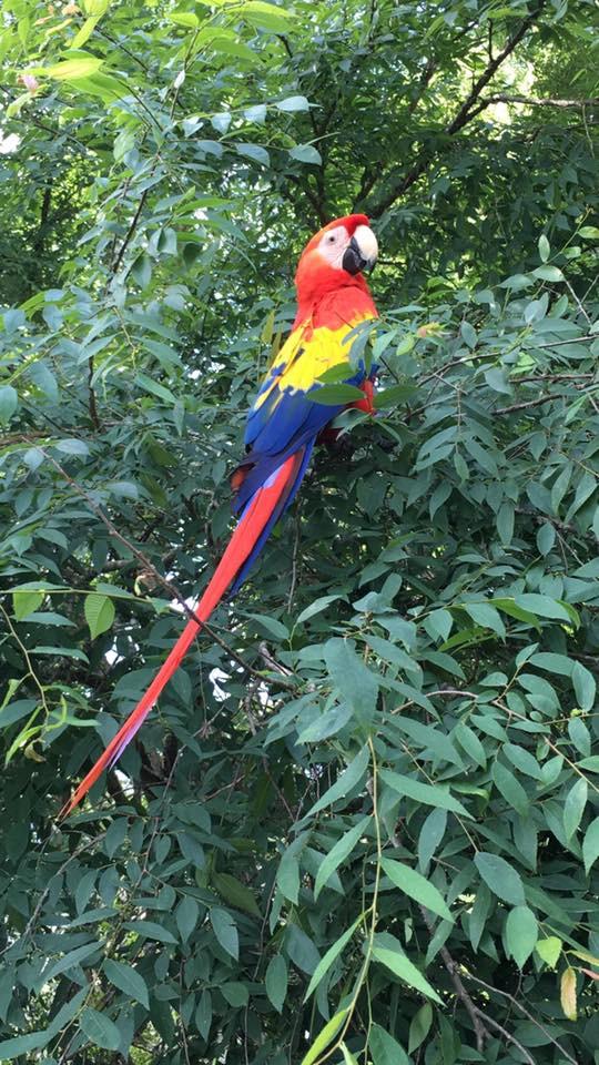 Macaw in tree.jpeg