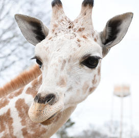 Tchalla the Reticulated Giraffe