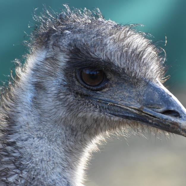 Esteban the Emu
