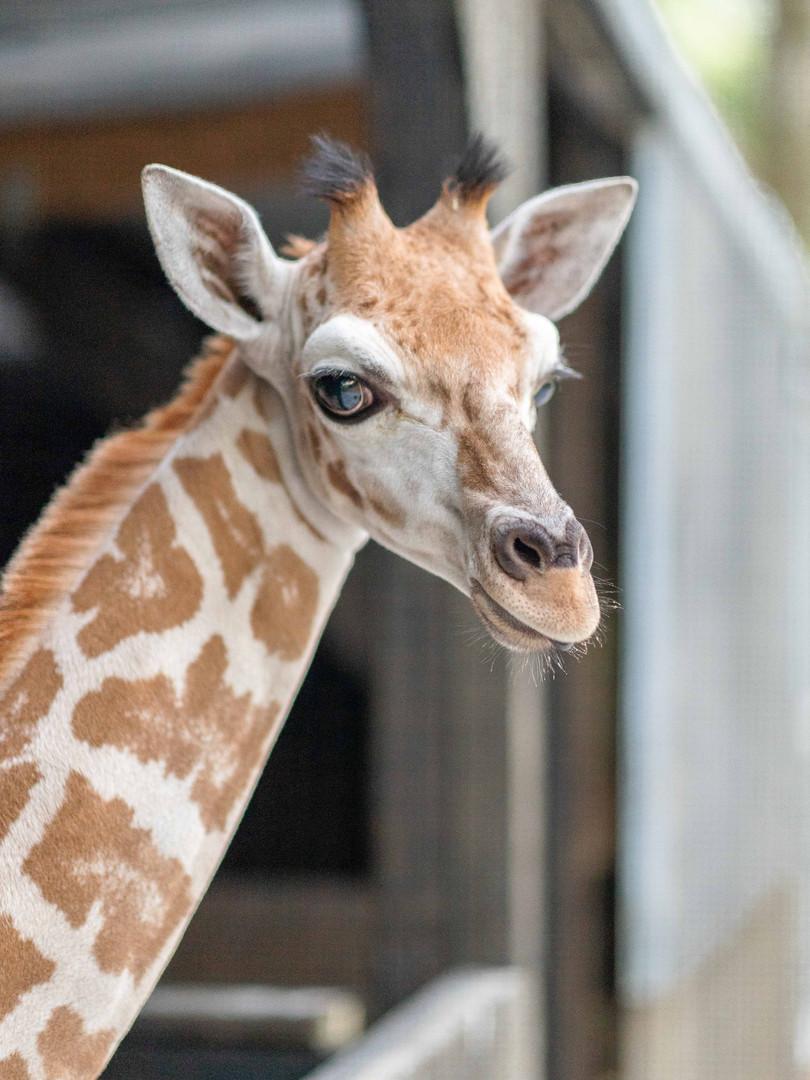 T'challa Giraffe.jpg