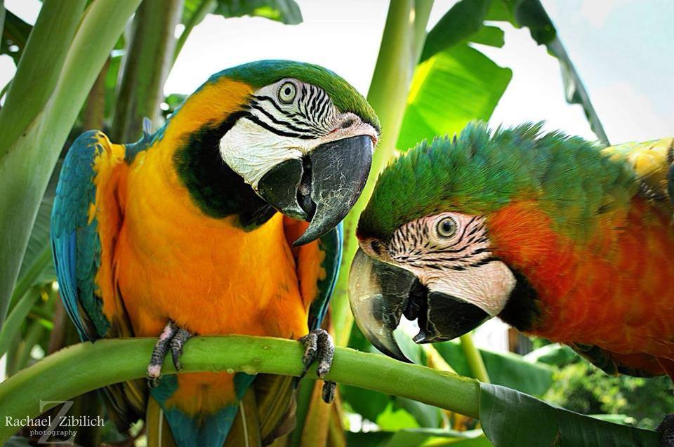Long Macaw pictures.jpg