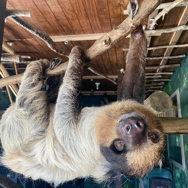 Patches the Two-toed Sloth