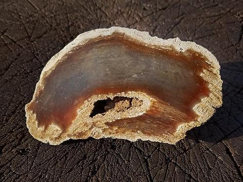 Polished Petrified Wood from Oregon