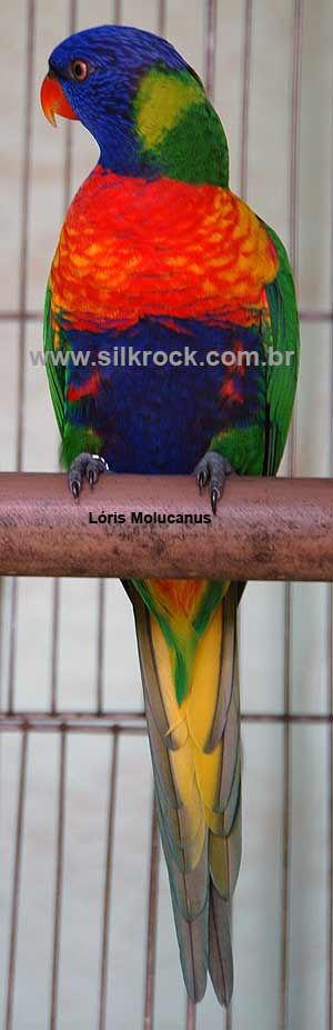 Molucanus 5.jpg