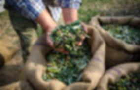 Récolte manuelle d'olives Nüssa