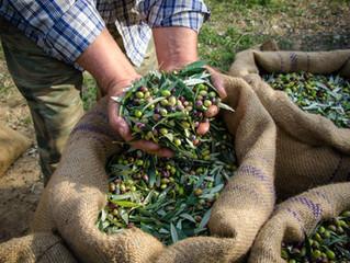 Урожай крымских оливок ожидается к 2026 году