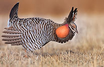 PrairieChicken_behavior-david-r-neilson-