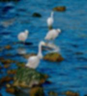Snowy Egrets (blue).jpeg