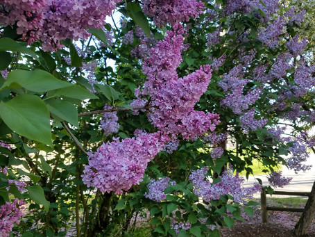 Spring, Lilacs and more..