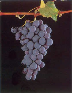Mavro Grape By Xenis Photography
