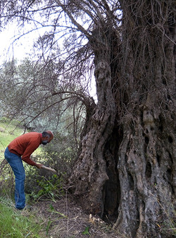 Cultivate and remove overgrowths