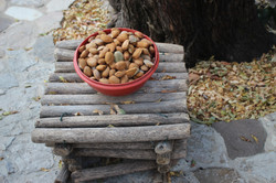 Freshly picked almond nuts
