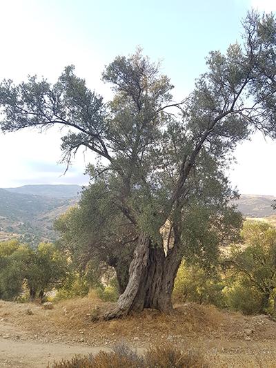 Apostolic Olive Tree