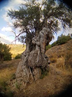 Aposotolic Olive Tree