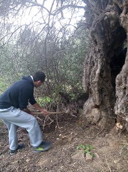Apostolic Olive tree maintenance